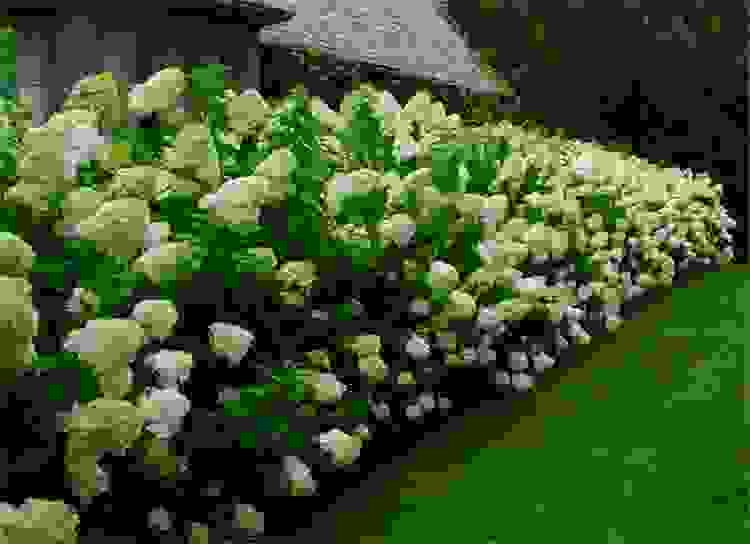 hydrangea-limelight-hedge1_1-test.jpg